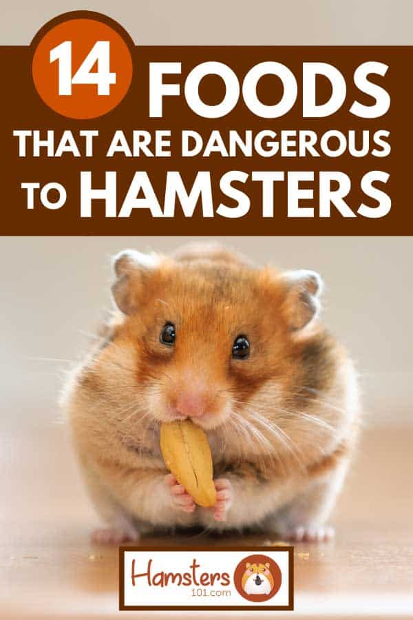 A cute hamster eating a nut, 14 Foods That Are Dangerous to Hamsters