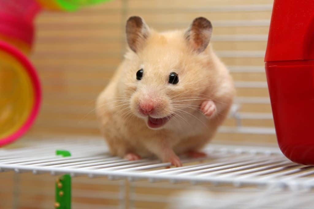 A cute little hamster startled inside his cage