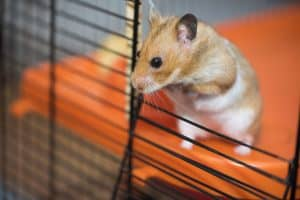 Read more about the article Wet Tail Disease in Hamsters – Prevention and Treatment