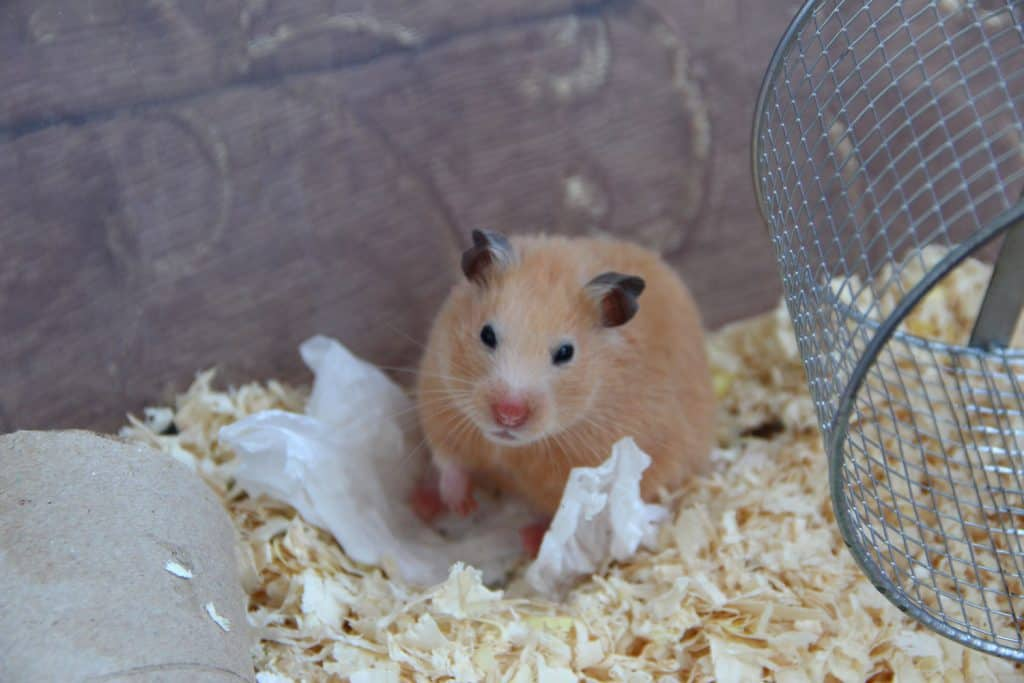 A hamster sitting inside his cage looking at the camera aggressively