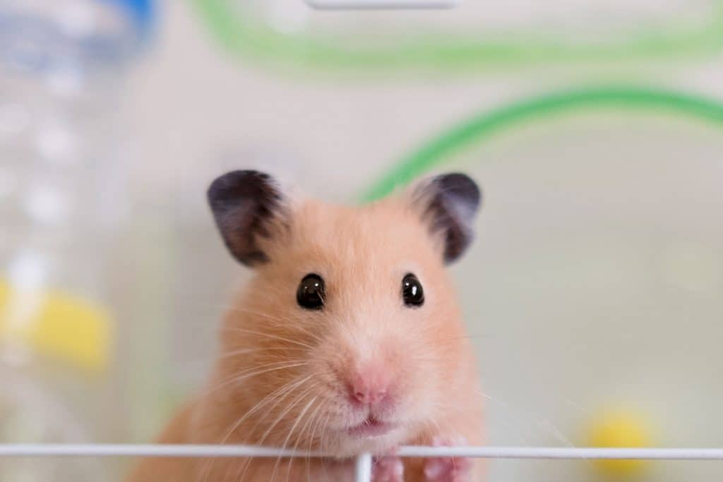 A startle hamster inside his cage
