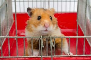 Why Do Hamsters Die? (And How to Help Them Live Longer!)
