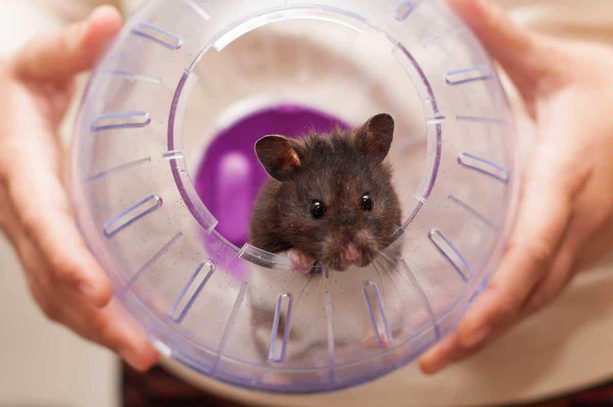 Cute hamster in a purple ball