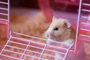 Should You Let a Hamster out of Its Cage?