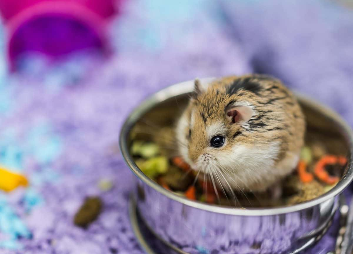Dwarf hamster eating food from bowl