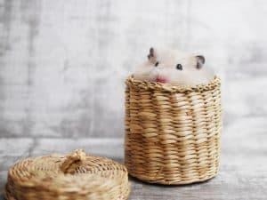 Hamster hiding