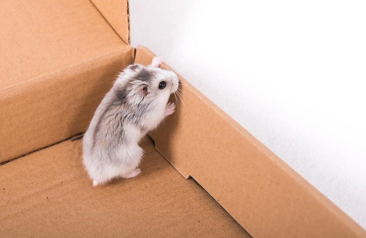 Hamster in the box