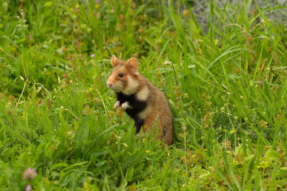 Hamster in the wild