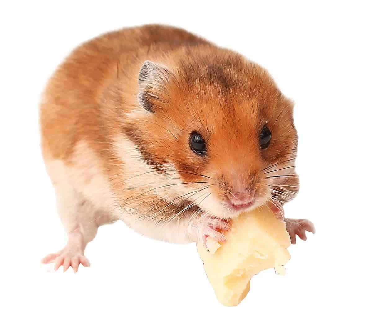 Hamster is eating cheese