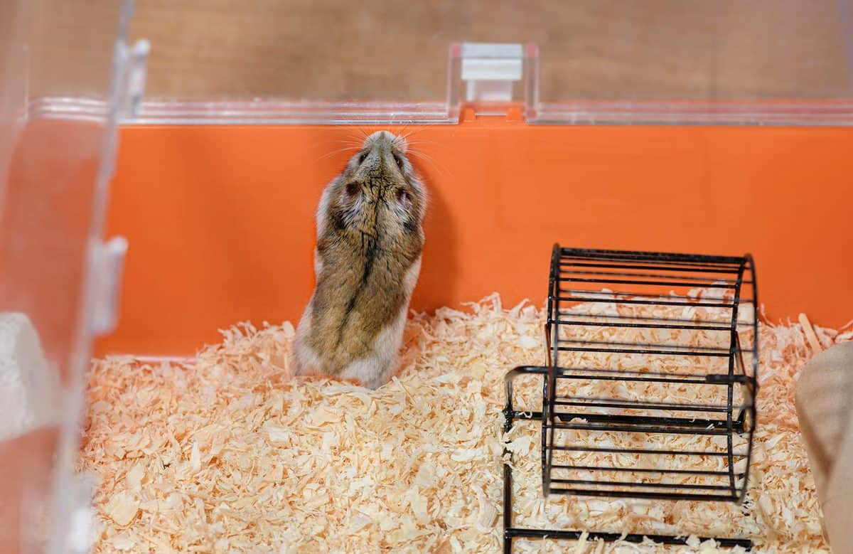 Hamster is standing on its hind legs in the plastic orange cage