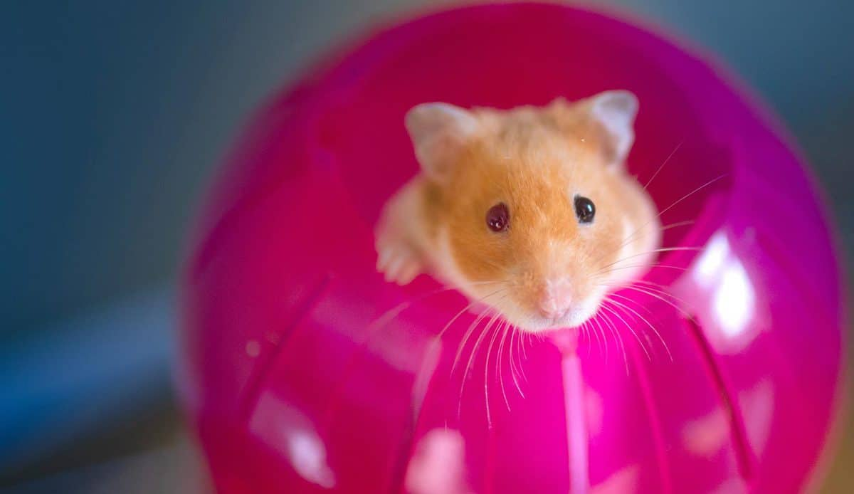 Hamster poking her head out of a bright red exercise ball