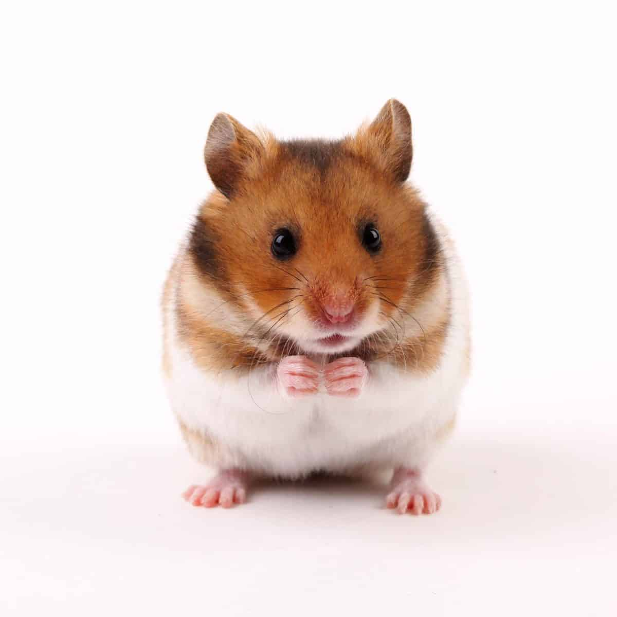 Hamster with sharp nails