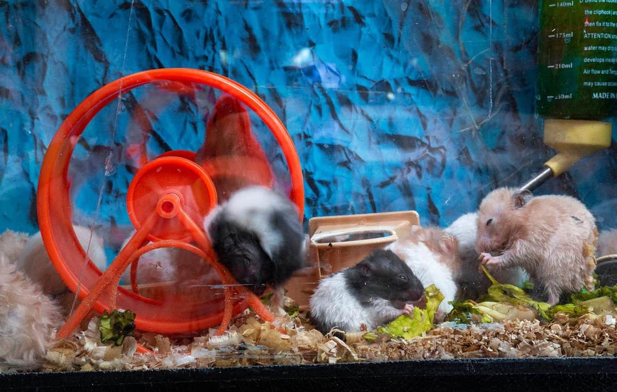 Hamsters living in aquarium