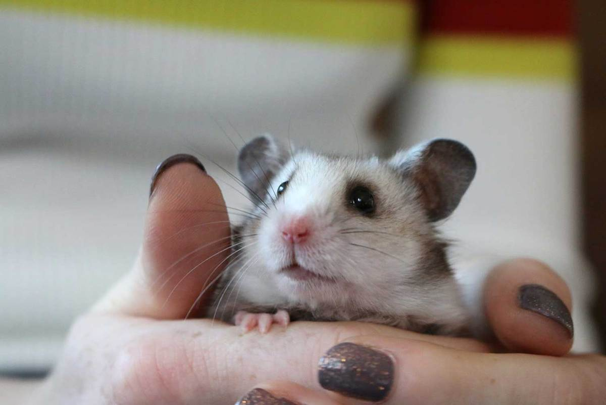 Hand holding a happy small silver grey Syrian hamster