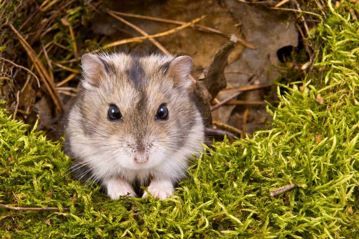 Little dwarf hamster, Can I Release My Hamster into the Wild?