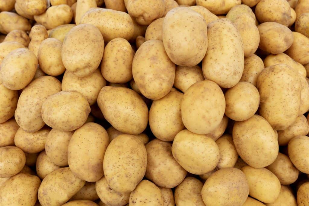 Newly washed potatoes after harvest