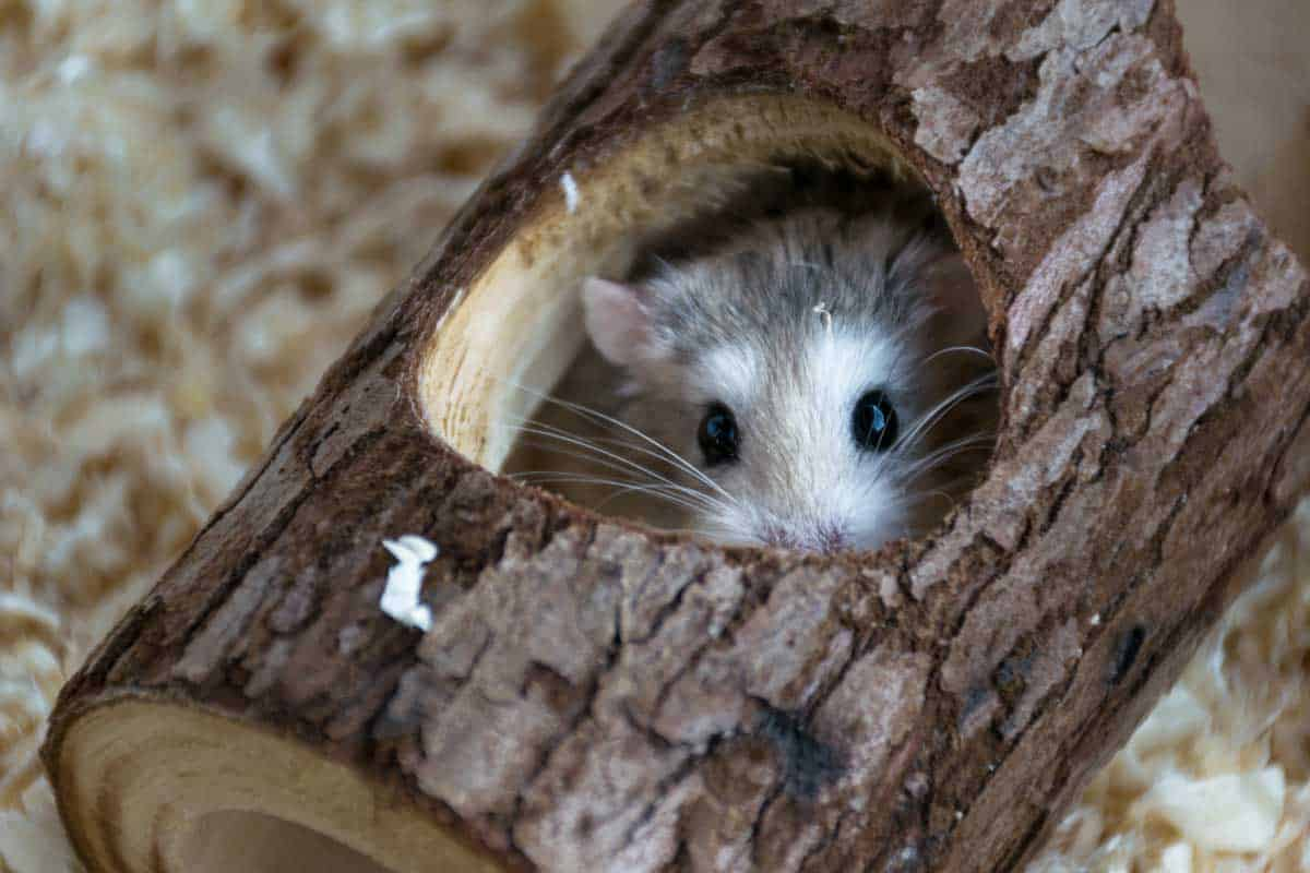 Roborovski Hamster playing in a toy tree trunk