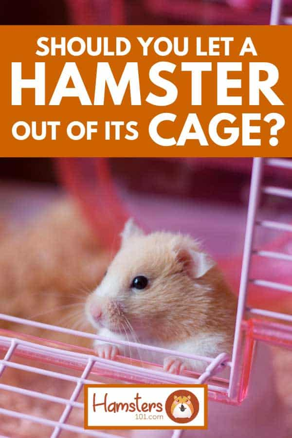 Cute hamster going out of its cage, Should You Let a Hamster out of Its Cage?