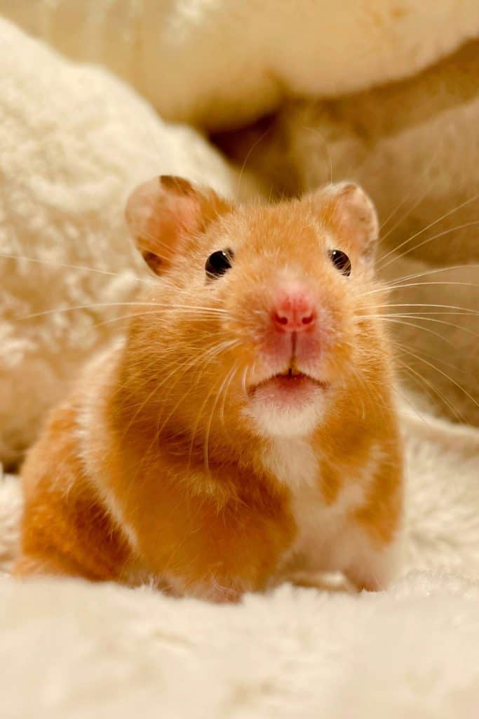 Syrian hamster looking at something inside his cage