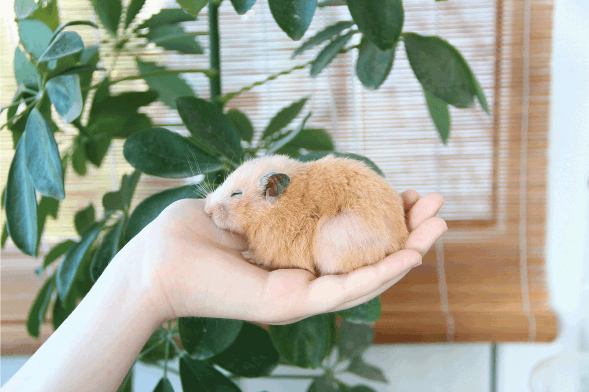 Syrian hamster sleeping on the female hand on the background of domestic plants. How Should You Play with Your Hamster