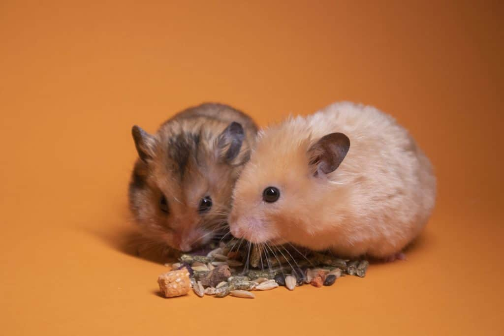 Two hamsters eating nuts and other nutritious food on a orange background