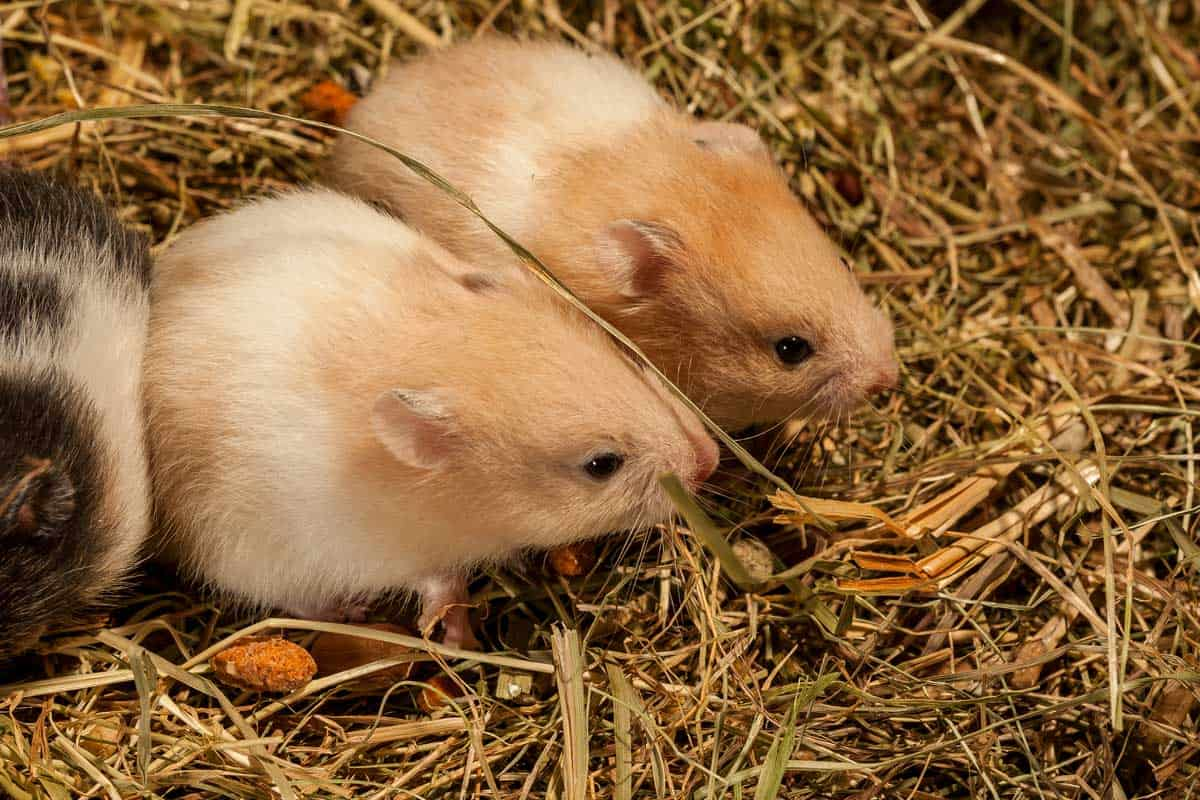 Two young syrian hamster in a hay, portrait of popular pet.