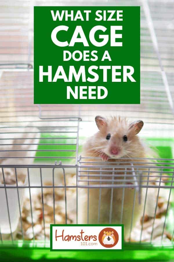 Little hamster looking out of cage, What Size Cage Does A Hamster Need