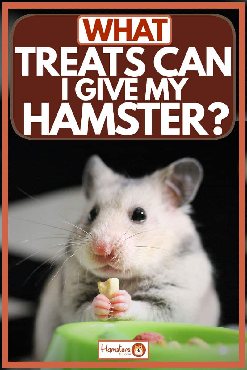 Cute little hamster holding and eating piece of cheese, What Treats Can I Give My Hamster?