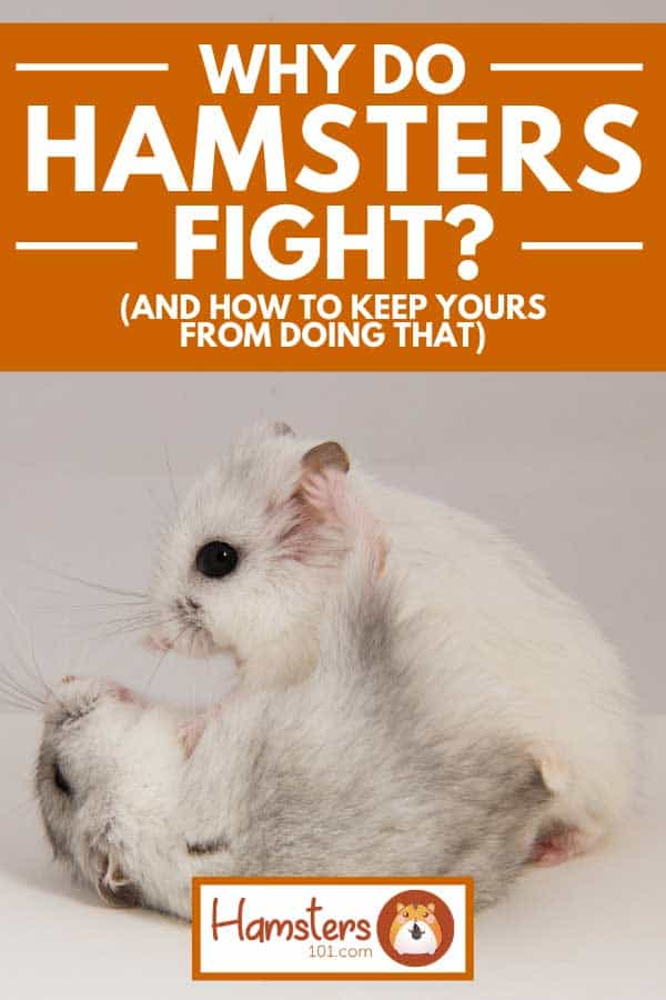Two small hamster fighting, Why do Hamsters Fight? (And How to Keep Yours From Doing That)