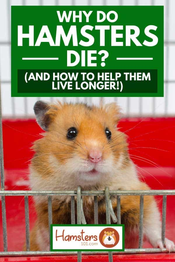 Cute funny Syrian hamster looking out of the cage, Why do hamsters die? (And how to help them live longer!)