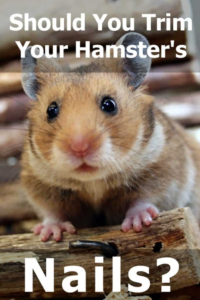 Should You Trim Your Hamster's Nails? (And How To Do That