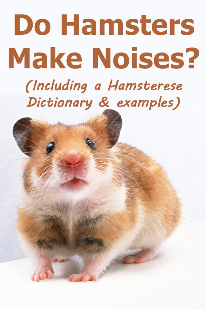 What do hamster noises or sounds mean? We have a list of hamster noises and what they could mean (including videos where you can hear them!)