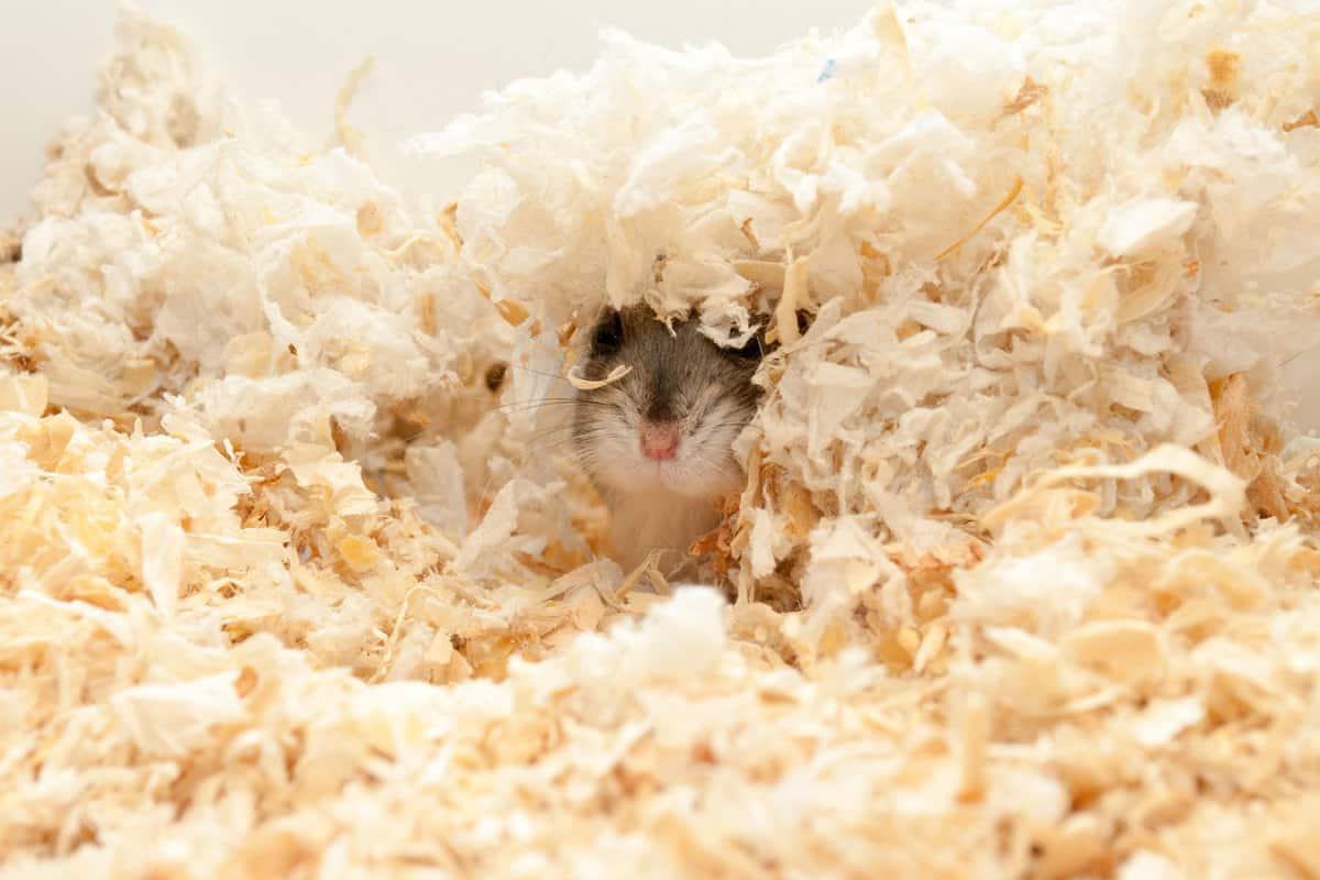 A cute dwarf hamster hiding under a pile of wood shavings