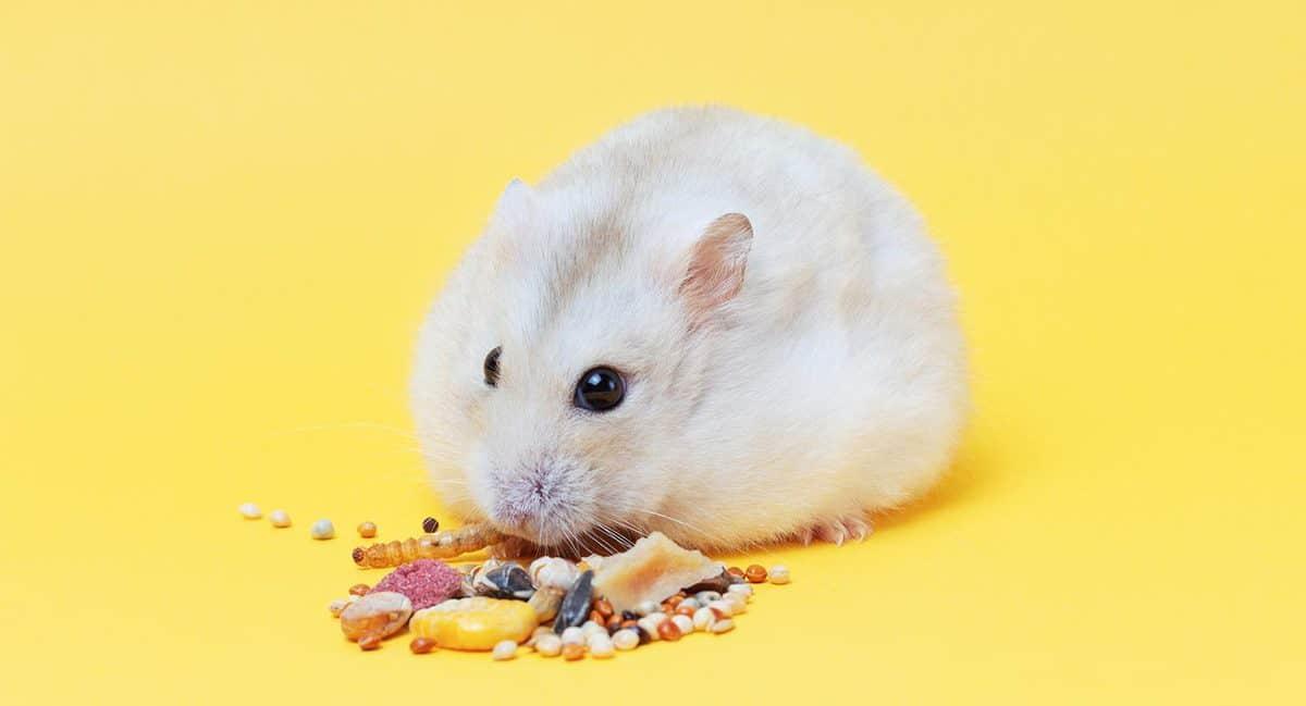 A dwarf fluffy hamster eats dry food