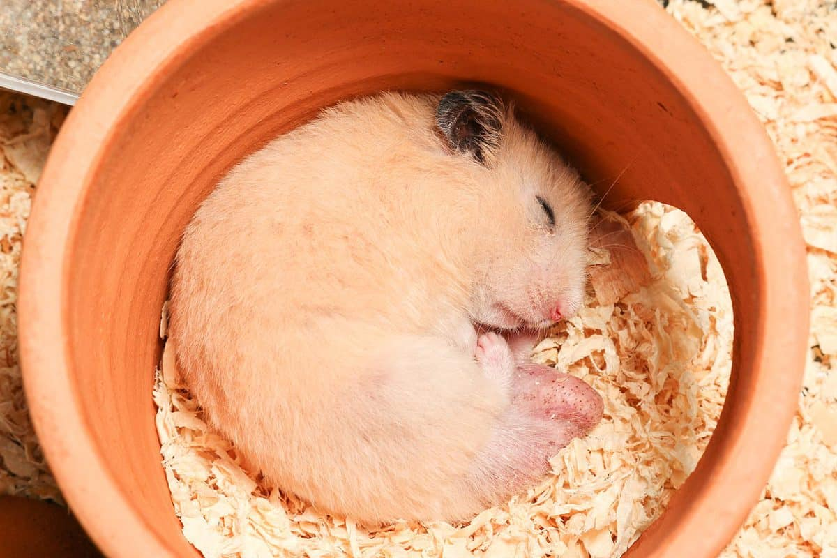 Adorable male orange syrian hamster is sleeping in clay house