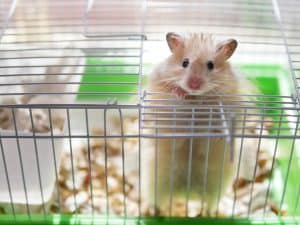 Read more about the article Do Hamsters Make Good Pets?