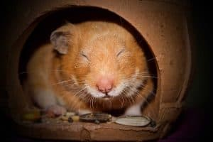 Do Hamsters Hibernate in Winter? (And What Is Torpor?)