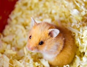What's the Best Bedding for Your Hamster's Cage?