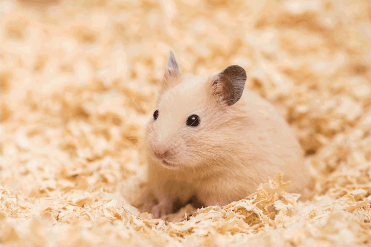 Golden Hamster in wood chips.
