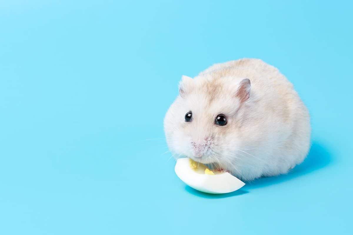 Hamster eats egg white