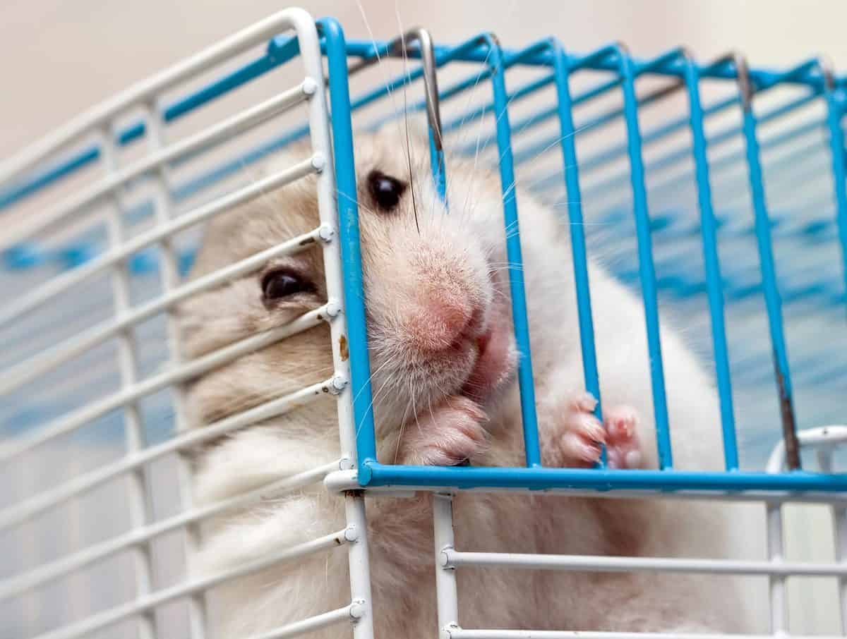 Hamster gnawing on the bars of his own cage
