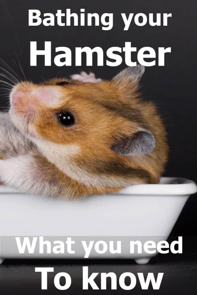 Bathing Your Hamster: What Every Owner Needs to Know – Hamsters 101