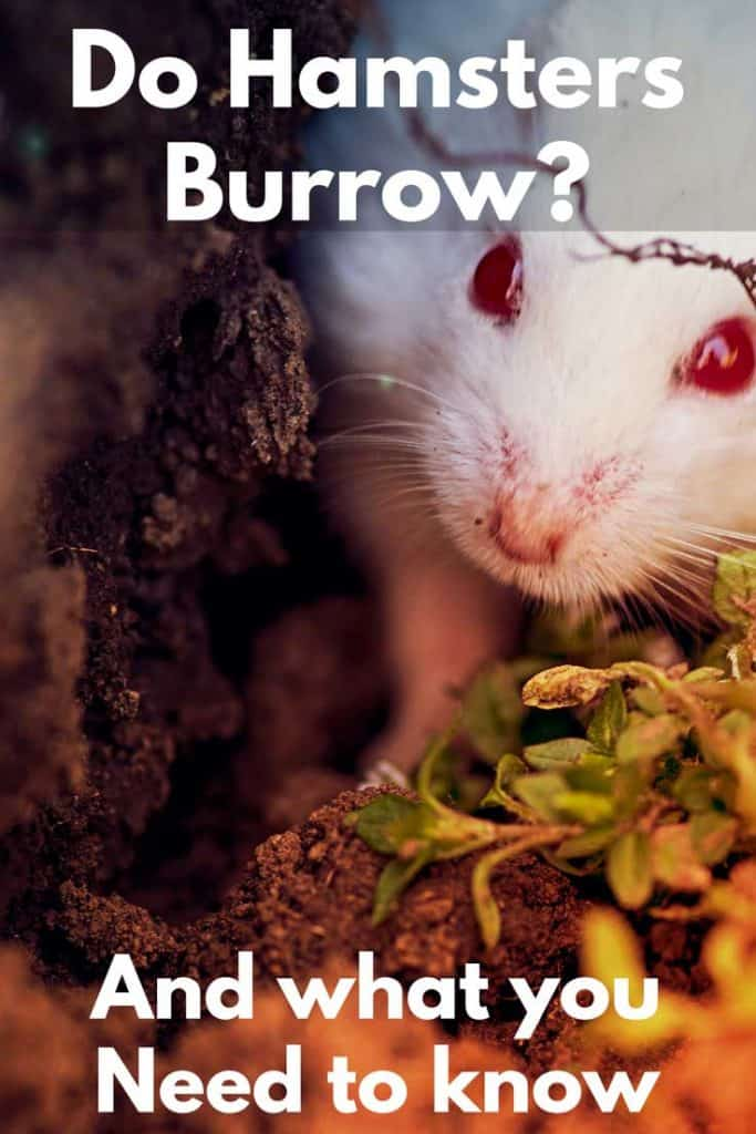 Do Hamsters Burrow? (And What You Need To Know)