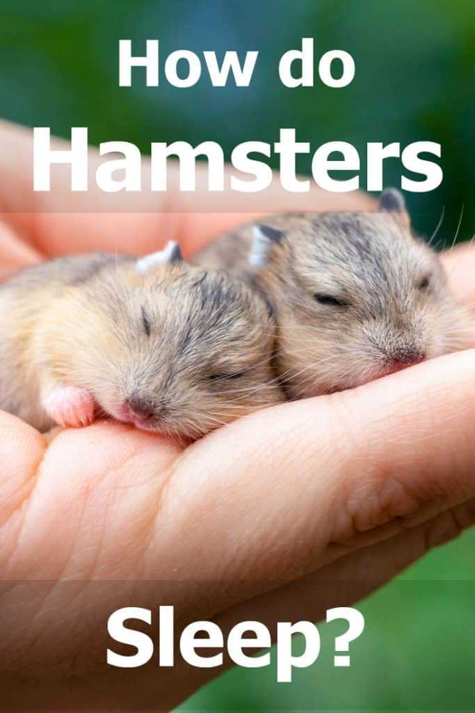 How Do Hamsters Sleep