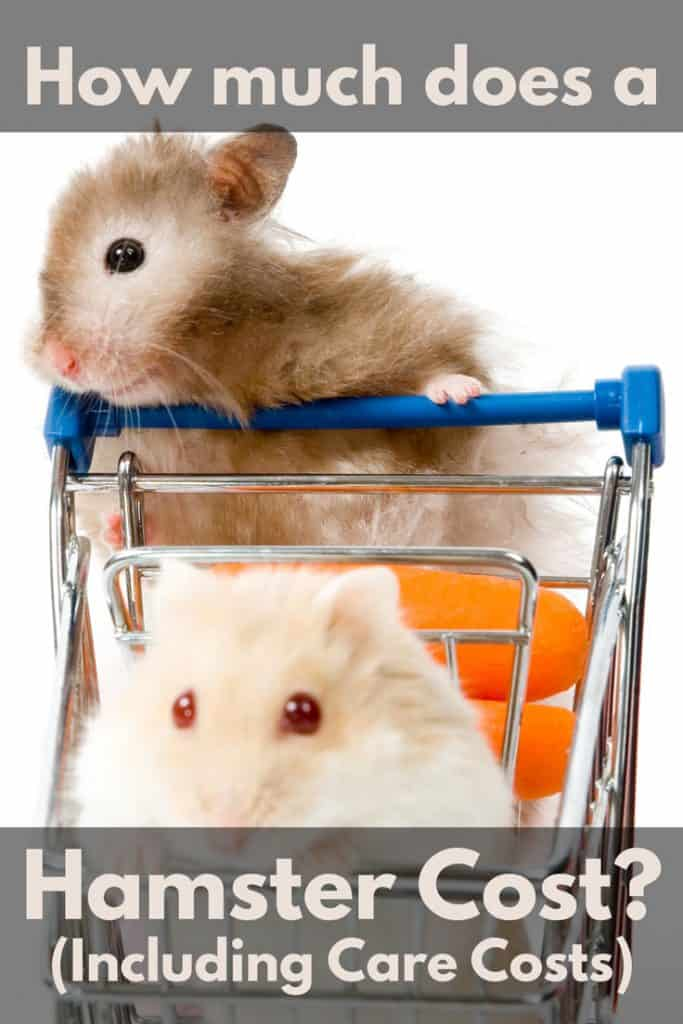 Two hamsters playing with a toy grocery cart, How Much Does A Hamster Cost? (Including Care Costs)