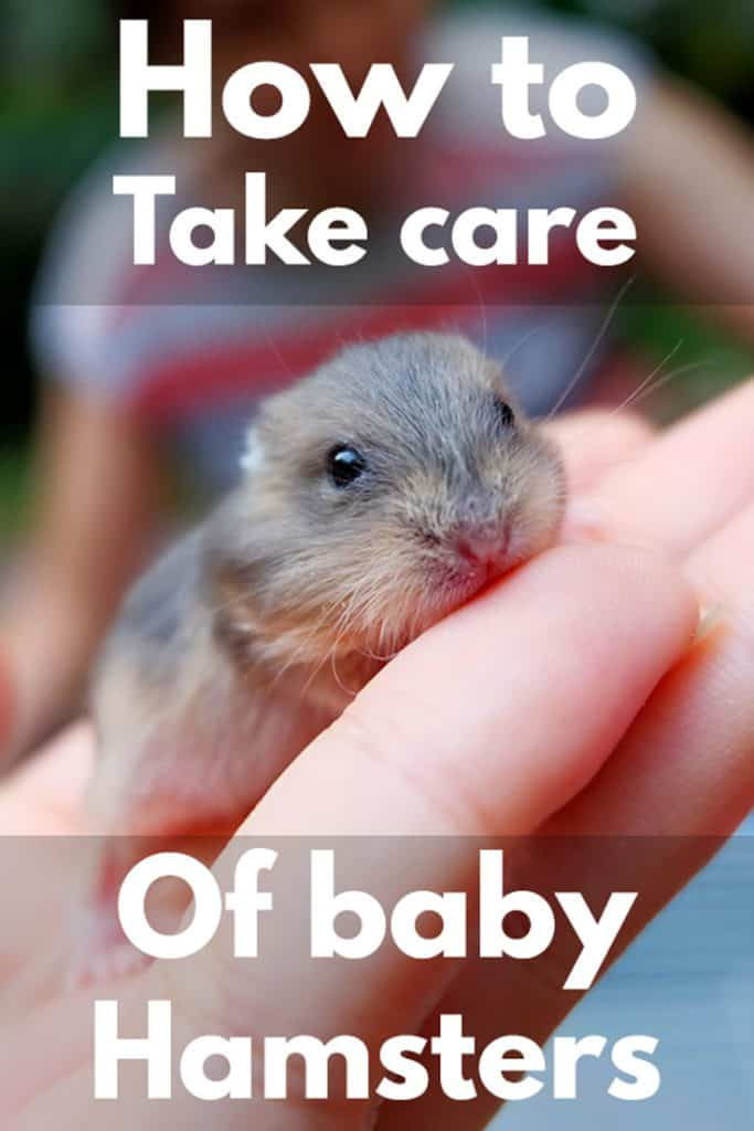 How to Take Care of Baby Hamsters