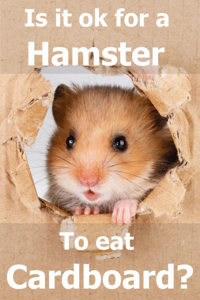 Little hamster looking up in cardboard side torn hole, Is It Ok for a Hamster to Eat Cardboard?