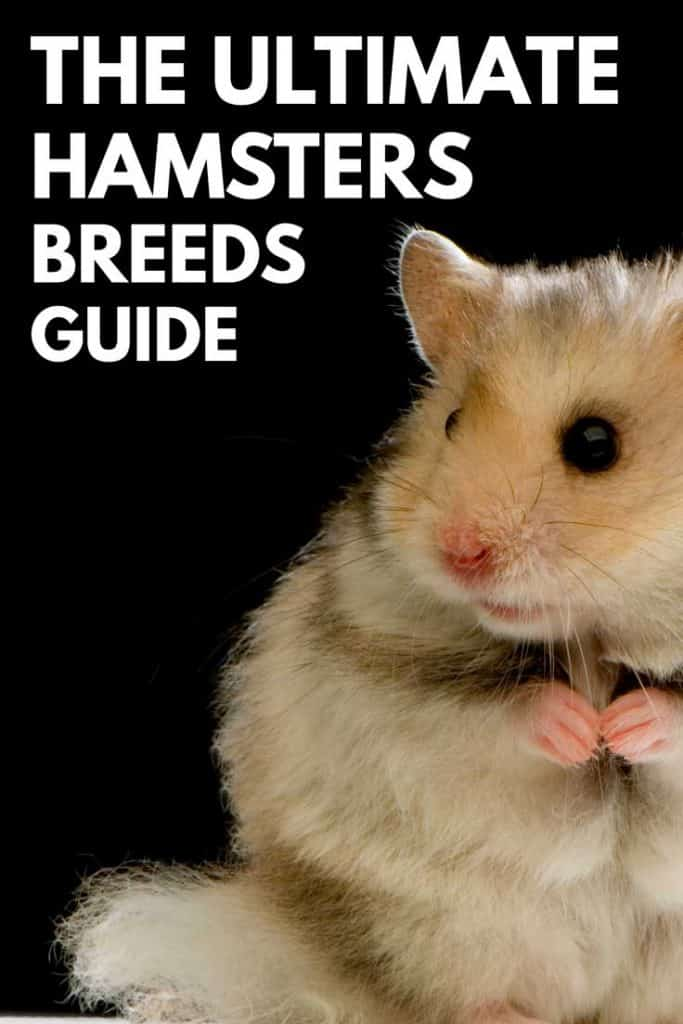 The Ultimate Hamster Breeds Guide – Hamsters 101