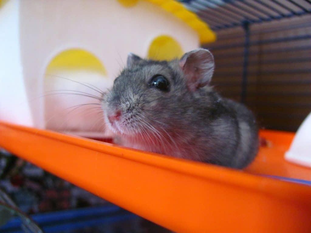 Cute Pet Hamster