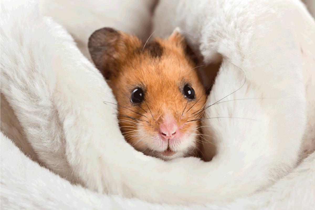 Syrian Short Hair Gold Hamster. The Ultimate Hamster Breeds Guide